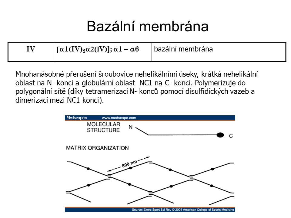 Bazální membrána IV [a1(IV)2a2(IV)]; a1 – a6 bazální membrána